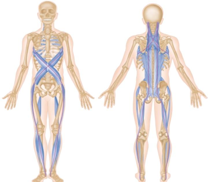 een voorbeeld van een spierketen, de fascia geeft het systeem een continuïteit